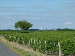 Vignes à Montlouis