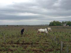 Dans les vignobles à Pommard